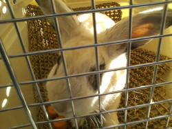 Elliot the rescue humane Ed bunny