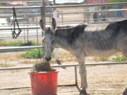 Donkey for Adoption