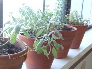 Herbs in the windowsill