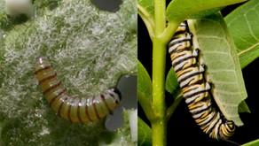 Comer o defenderse mientras los herbívoros crecen