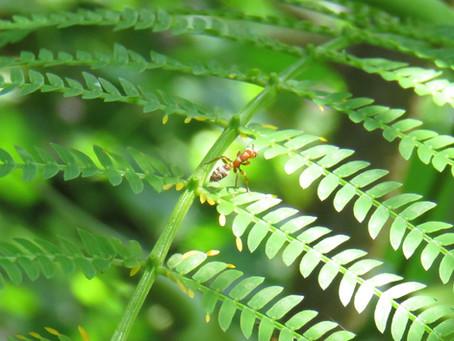 No todas las hormigas son de fiar...