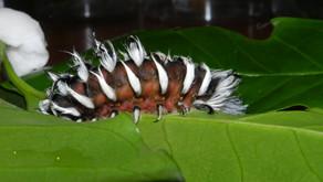 El café y la diversidad de lepidópteros