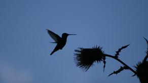 Abejas, colibries  y la evolución de las flores