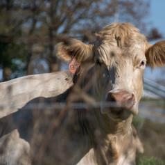 Cow #13
