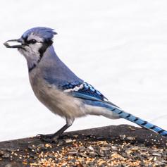 Blue Jay's Winter Breakfast