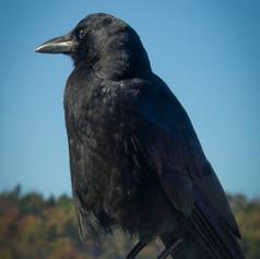 Noble Crow