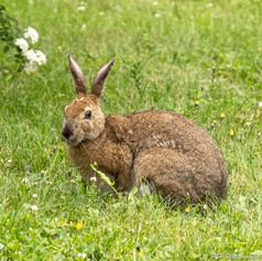 Backyard Bunny #1