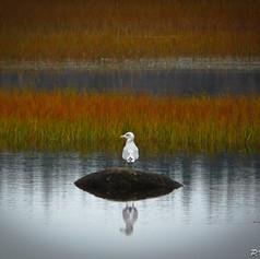 Autumn Gull