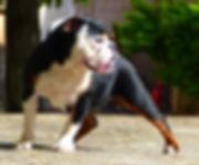 new english bulldog femelle breizh broth