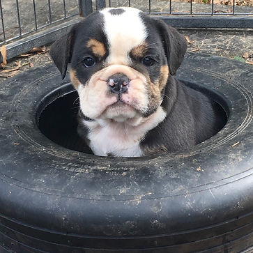chiot new english bulldog black tri brei