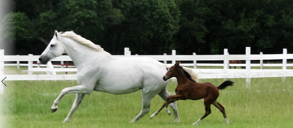 White Horse and Foal Revised.PNG