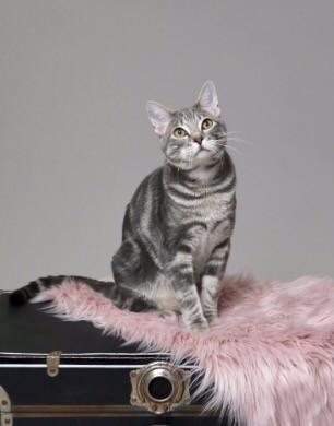 cat-Famous-body-34-Blue-cream-tabby-Tris