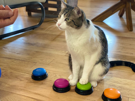 Two Buzzer Games You Can Teach Your Cat!
