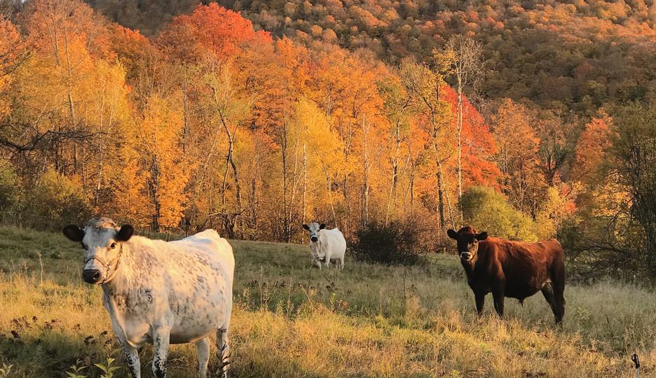 The herd in Rupert, Vermont.