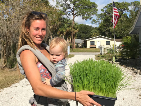 Local Organic Wheatgrass for Sale