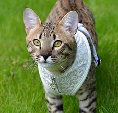 Savannah katt fra Throne Of Savannahs. Vi er et norsk oppdrett av Savannah katt.