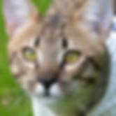 Highlander er en savannah katt fra Throne Of Savannahs, som er et norsk oppdrett av Savannah.
