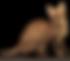 Savannah katt. Spotlightsvs Ascari, mor til Highlander som eies av Throne Of Savannahs.