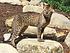 Savannah katt. A1savannahs Dakari, far til Highlander som eies av Throne Of Savannahs.