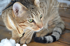 Savannah kattunge, Norge, Norsk savannah oppdrett, Throne Of Savannahs