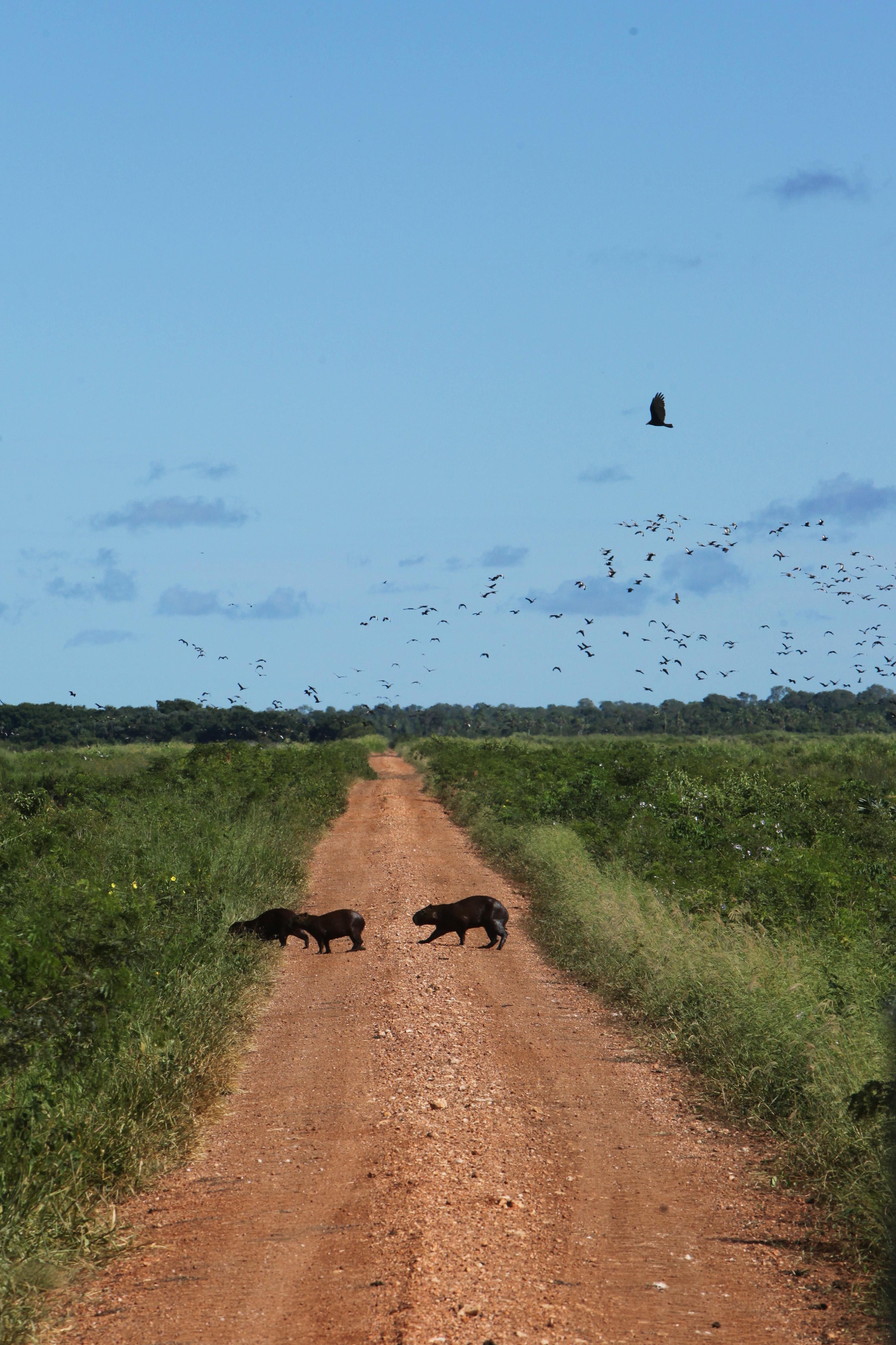 Travessia de Capivaras - Pantanal MS