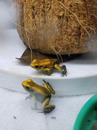 Golden Poison Frogs provided by FrogDaddy.com