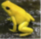 GoldenPoisonFrog1.png