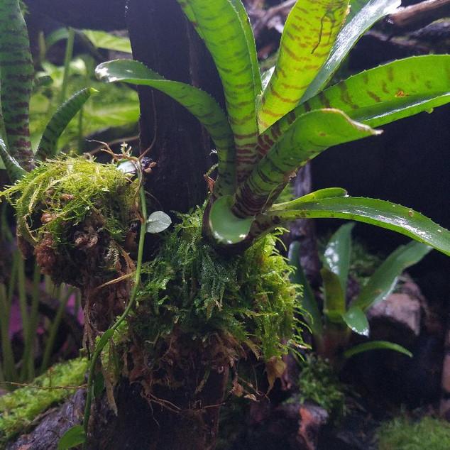 TRE Bromeliad and vine1.jpg