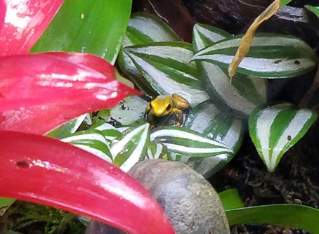 MOVING DAY!  Golden Poison Frogs moved to BioActive Vivarium!