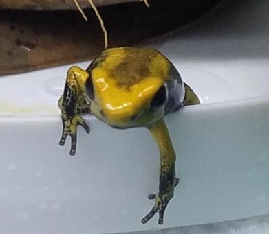 BEAUTIFUL Golden Poison Frogs from FROGDADDY.NET