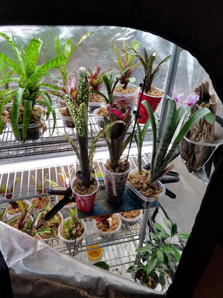 Bromeliads in our grow tent!