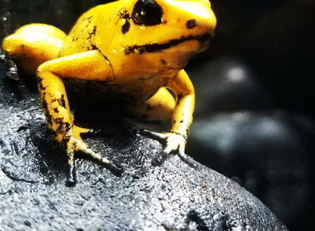 Golden Poison Dart Frogs are AWESOME!
