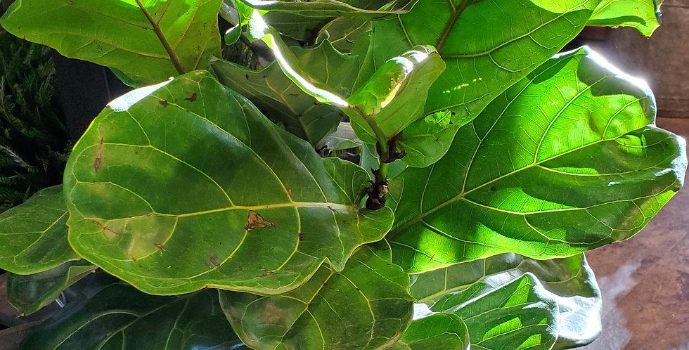 Fiddle Leaf Fig Plant