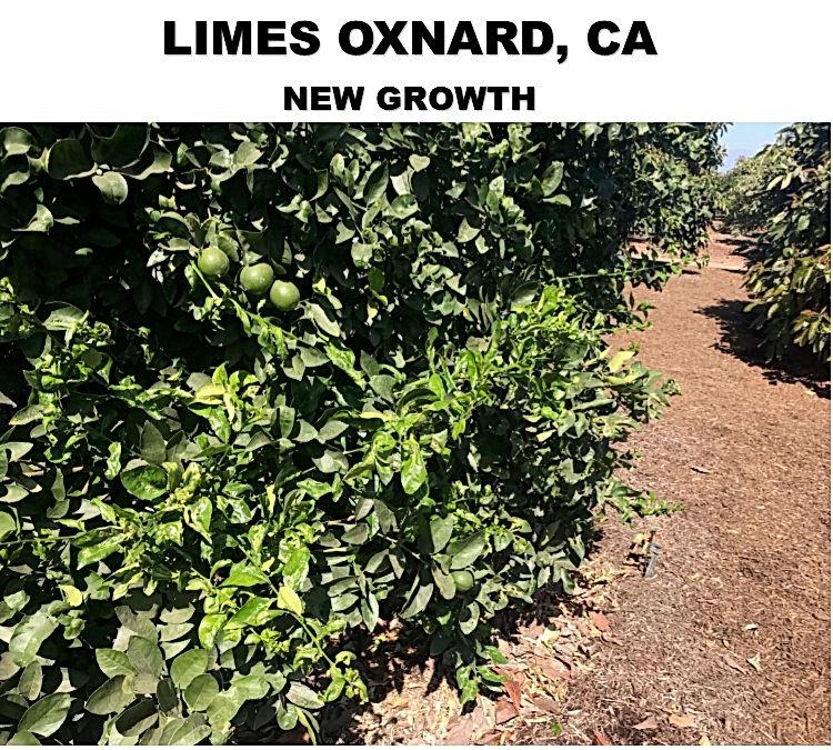 LIME OXNARD CA NEW GROWTH.jpg