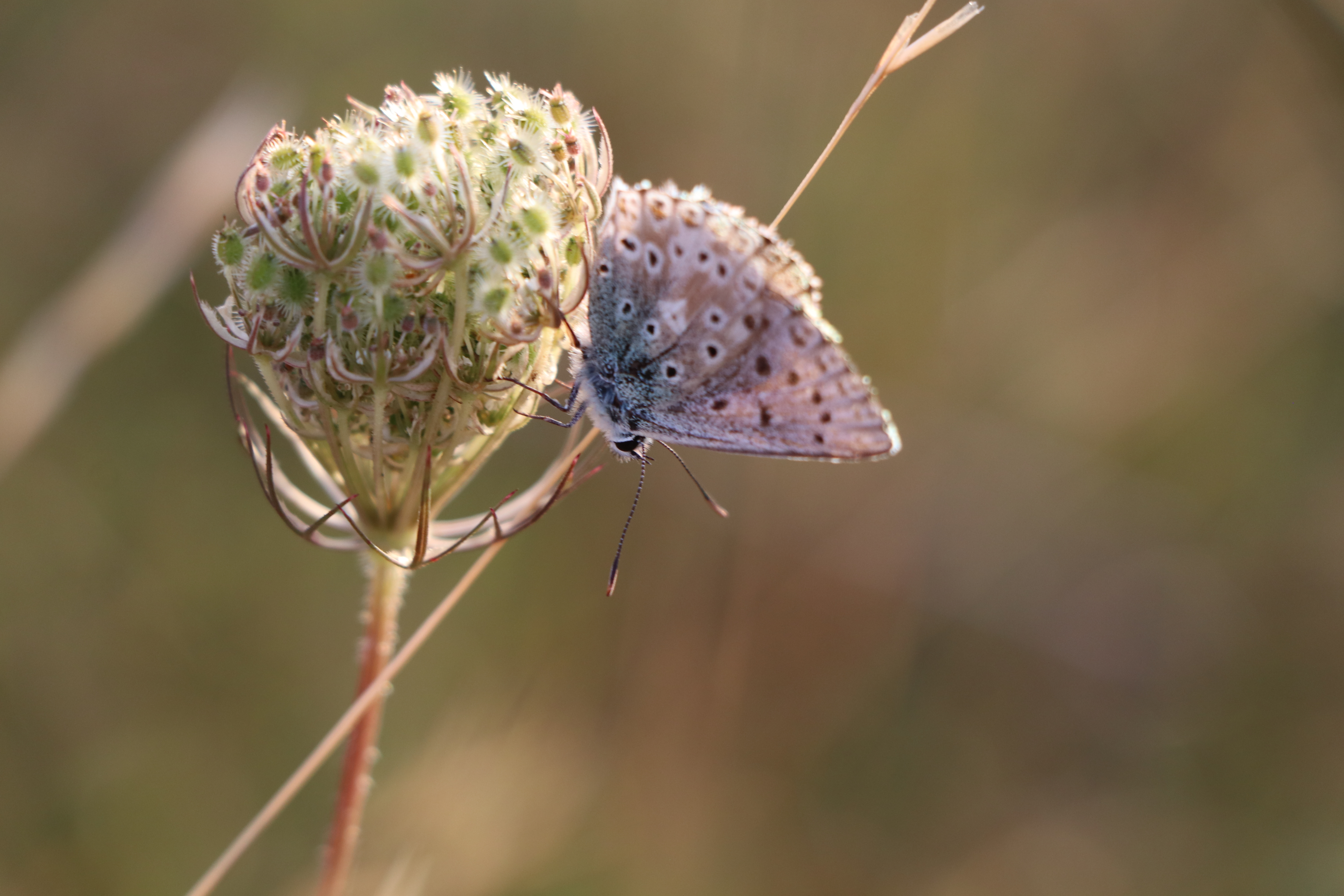 Chalk Hill Blue Butterfly