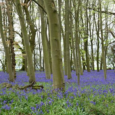 Bluebells Howe Wood