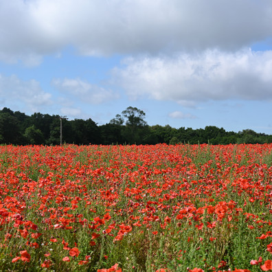 Aldringham Poppy Field