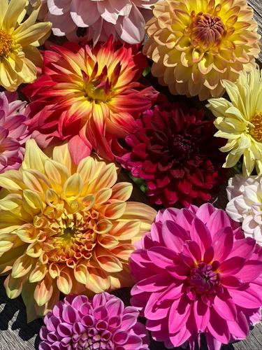 Dahlia Color.png