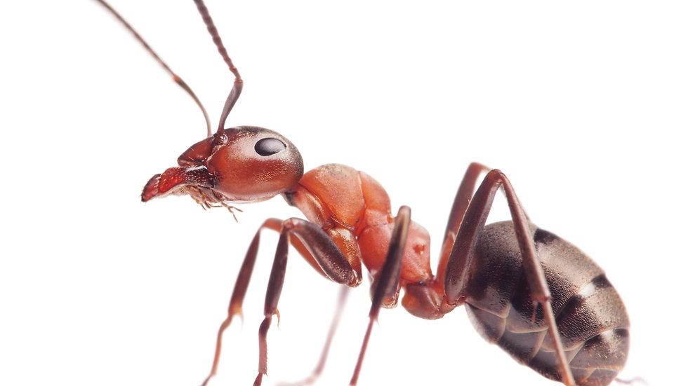 Ant Extermination