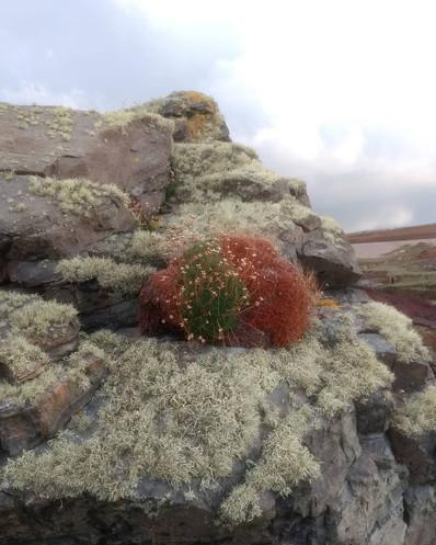 Lichen and thrift