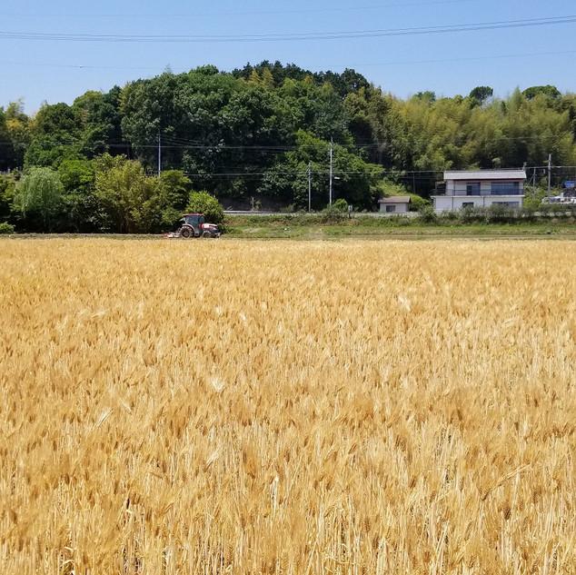 (寺尾製粉所)もち麦生産地2.jpg
