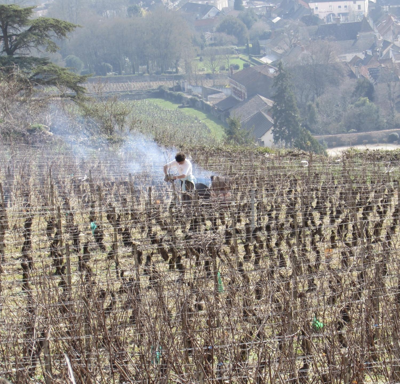 Winter pruning in Burgundy