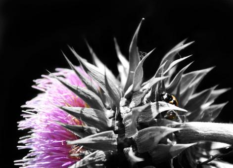 ladybug-thistl.jpg