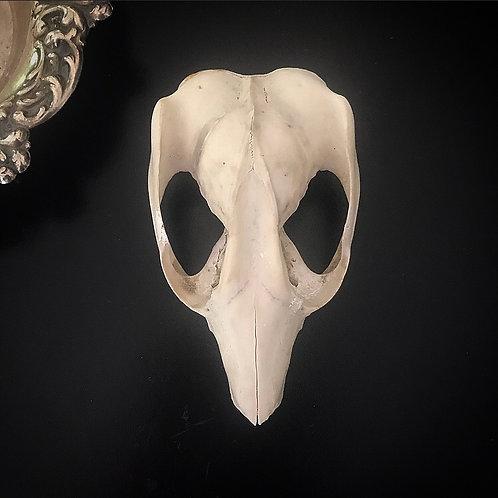 Naturally Found Possum Skull