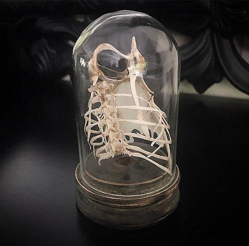 Birds Rib Cage in Glass Dome