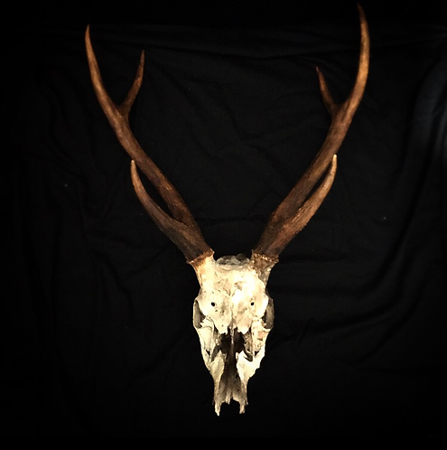 Stag Skull with Antlers