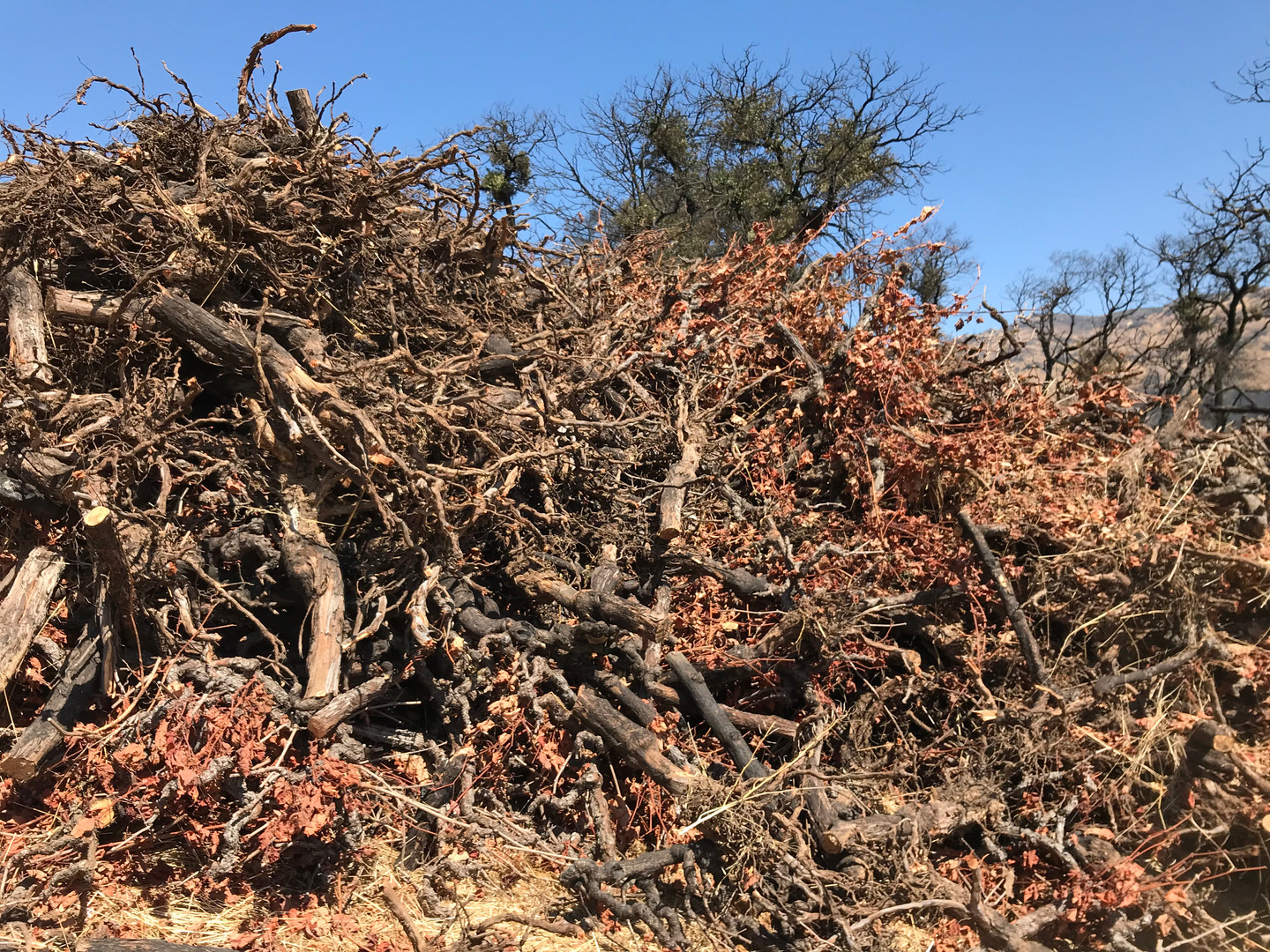 A pile of burnt vines that were cleared after the Atlas Fire