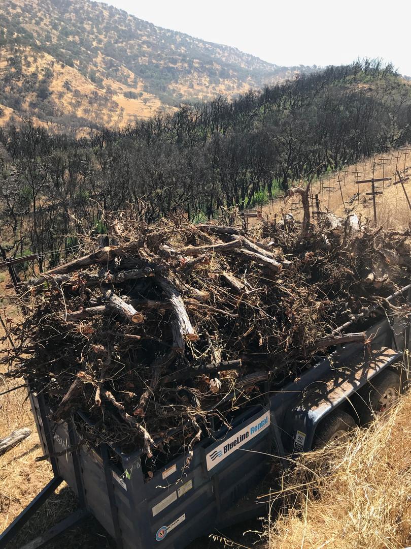 A grape bin full of torn out burnt vines
