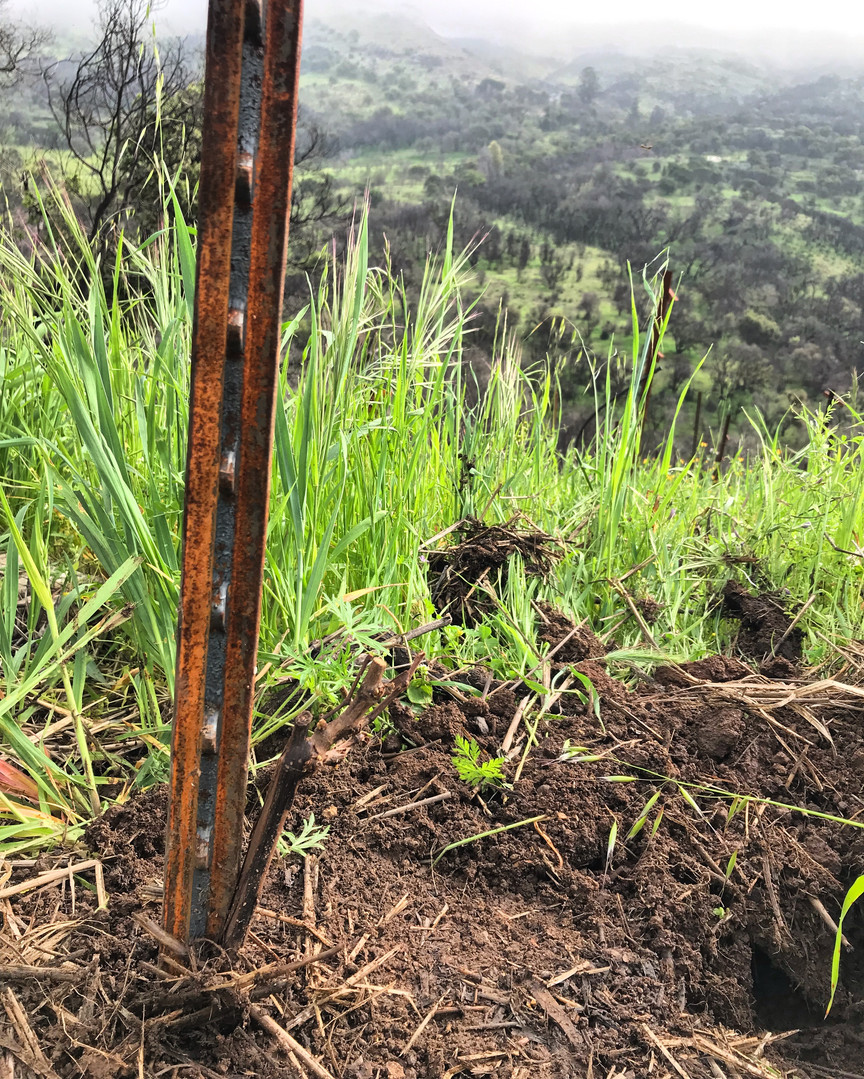 New growth in the vineyard