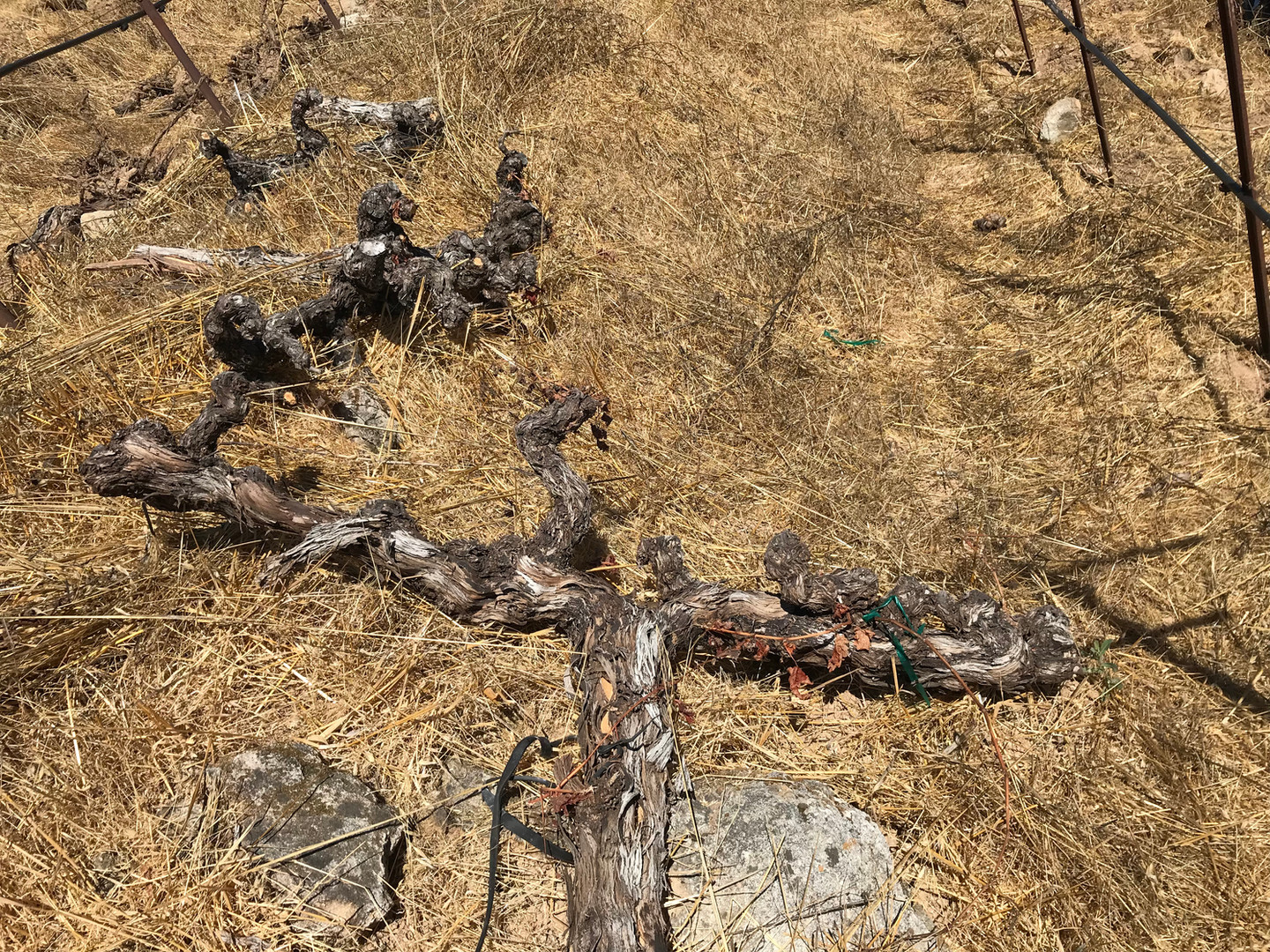 Burnt Vines lay on the ground